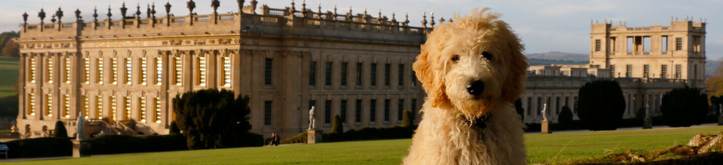 Henry, the Chatsworth Goldendoodle. Credit Chatsworth House Trust.jpg